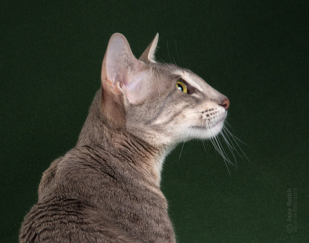 Photo Oriental cat