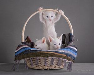 Вы можете купить котят ориенталов в питомнике MASCOT