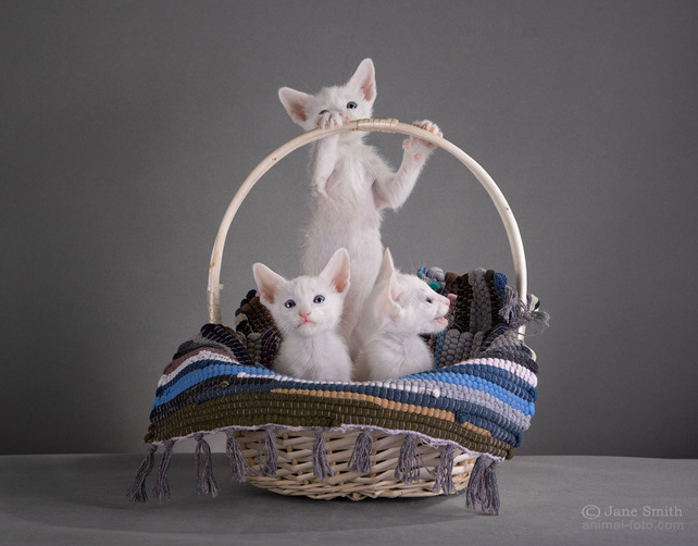 oriental kittens for sale