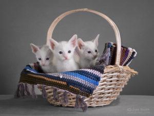 котята ориенталы в продаже