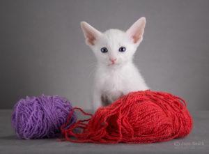 купить ориентальных котят