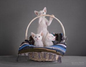 котята ориенталы ф1