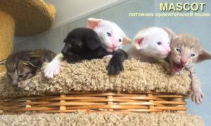 котята ориентальной породы, купить котёнка ориентала