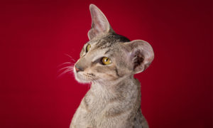 Cleopatra, купить котёнка ориетальной породы в Москве