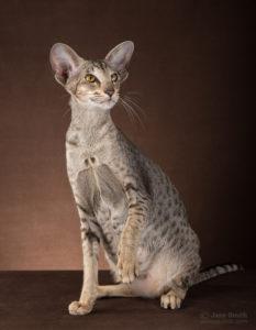 Cleopatra - кошка ориентальной породы