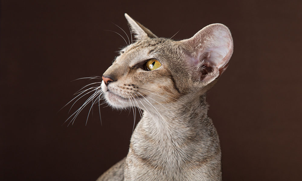 Gallery Oriental cats breed – Cleopatra