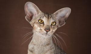 Купить котят ориентальной породы