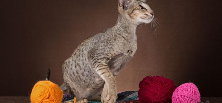 Что мы знаем об ориентальной кошке?