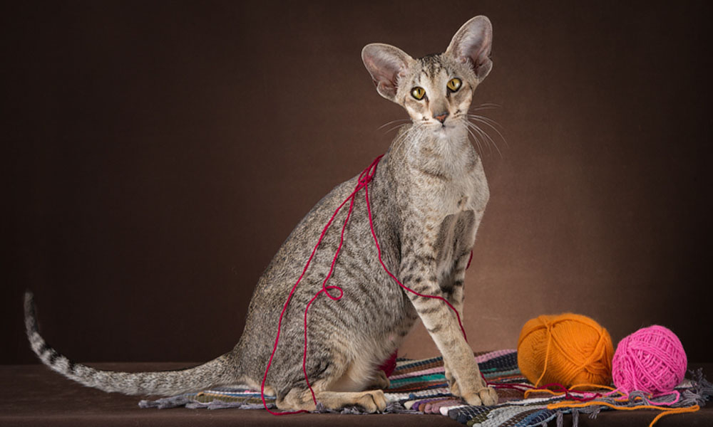 Gallery Oriental cats breed