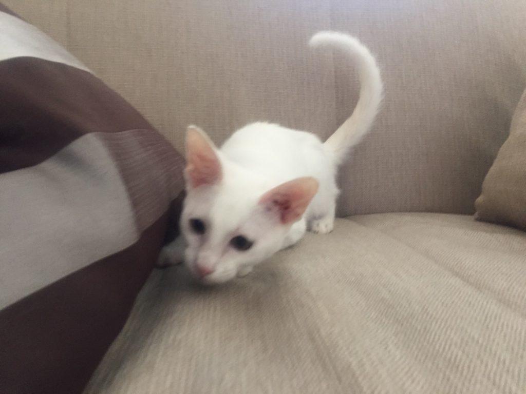 купить ориентального котёнка