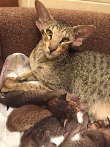 Котята ориентальной породы для резервирования