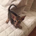 Кошка ориентал, котята ориенталы