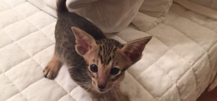Кошка ориентал. Котята ориентальной породы