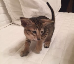 котята ориентальной породы