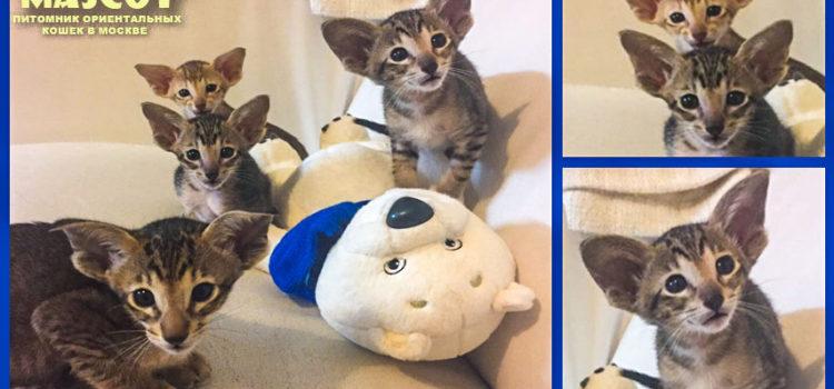 Купить ориентального котенка в Перми