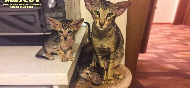 Ориентальные котята. Купить ориентального котёнка в Mascot