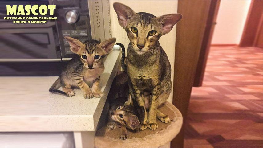 ориентальные котята купить Москва