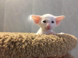 Белый котик ориентальной породы ф6