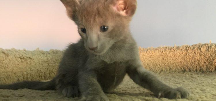 Купить ориентального котенка в Минске