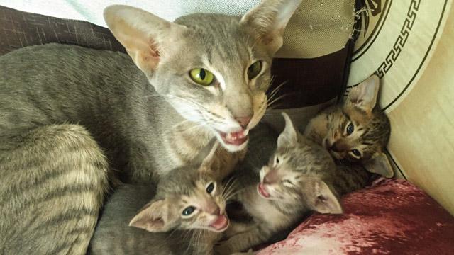 Котята ориенталы