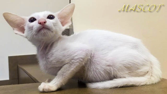Белая кошечка Ори с голубыми глазами