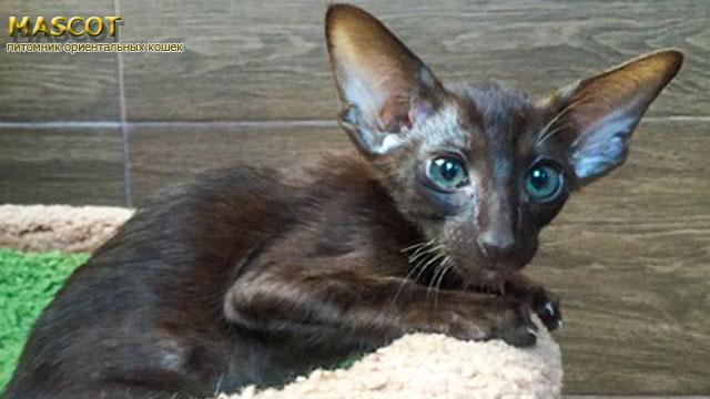 Шоколадные (Гавана) котик и кошечка ориентальной породы