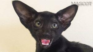 ориентальные котята эбони окрас
