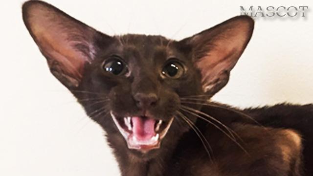 Котята шоколадного окраса Гавана