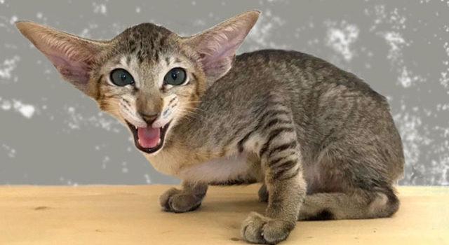 Кошечка шоколадное пятно с ярко изумрудными глазками