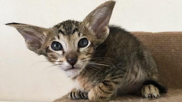 Ориентальный пятнистый котик
