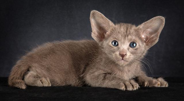Ориентальный голубой котик